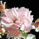 gefrorene Rose - rosarote Blüte